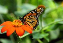 mariposa monarca y el riesgo en su migracion